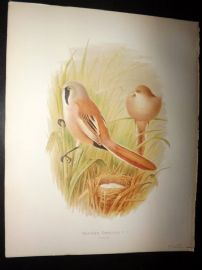 Butler, Frohawk & Gronvold 1908 Antique Bird Print. Bearded Reedling 37